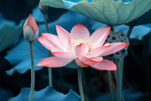 Lotus flower Credit: flowermeaning.com
